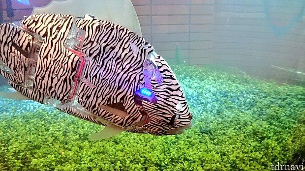 水槽にいる機械の魚(本物の水の中を泳ぎます)、時々電池切れでプカプカしているものもいました
