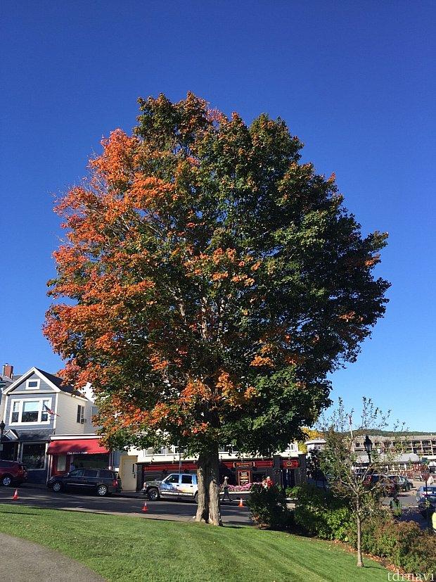 こんなに大きなメープルの木が。秋を感じさせます。