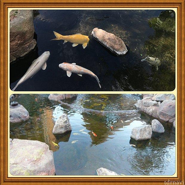 上の写真2017.07撮影下の写真2012.09撮影鯉も5年間で成長してました🌺