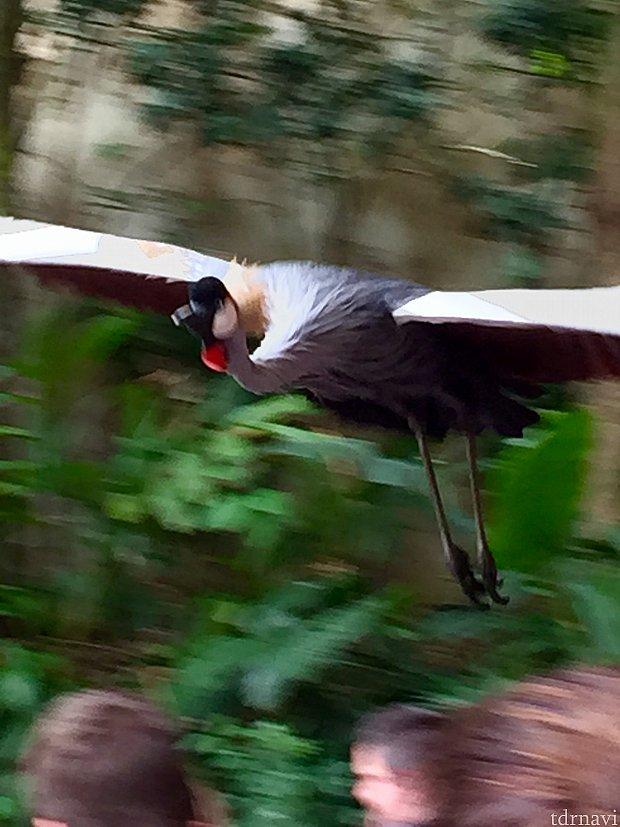 こんな大型の鳥もゲスト頭上スレスレを飛んで来たりします。