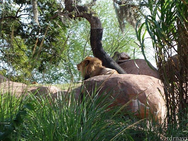 ライオンが見れた!ラッキー!