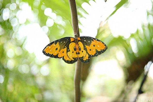 ミッキー模様の蝶々です! あなたは何匹見つけられますか?