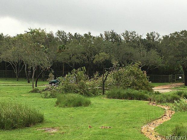 ハリケーン通過の翌朝です サバンナの木が倒れていました