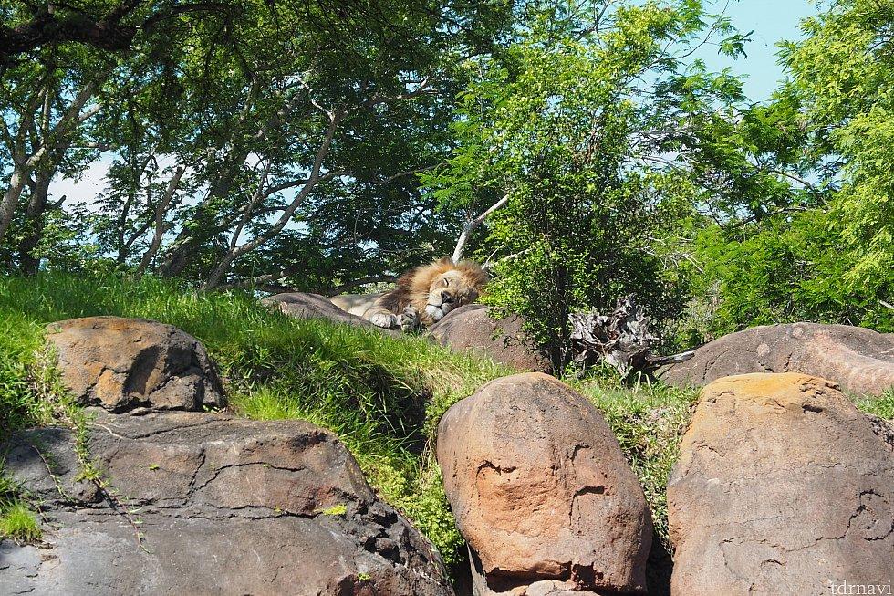 1回目…ライオンさんは爆睡中…
