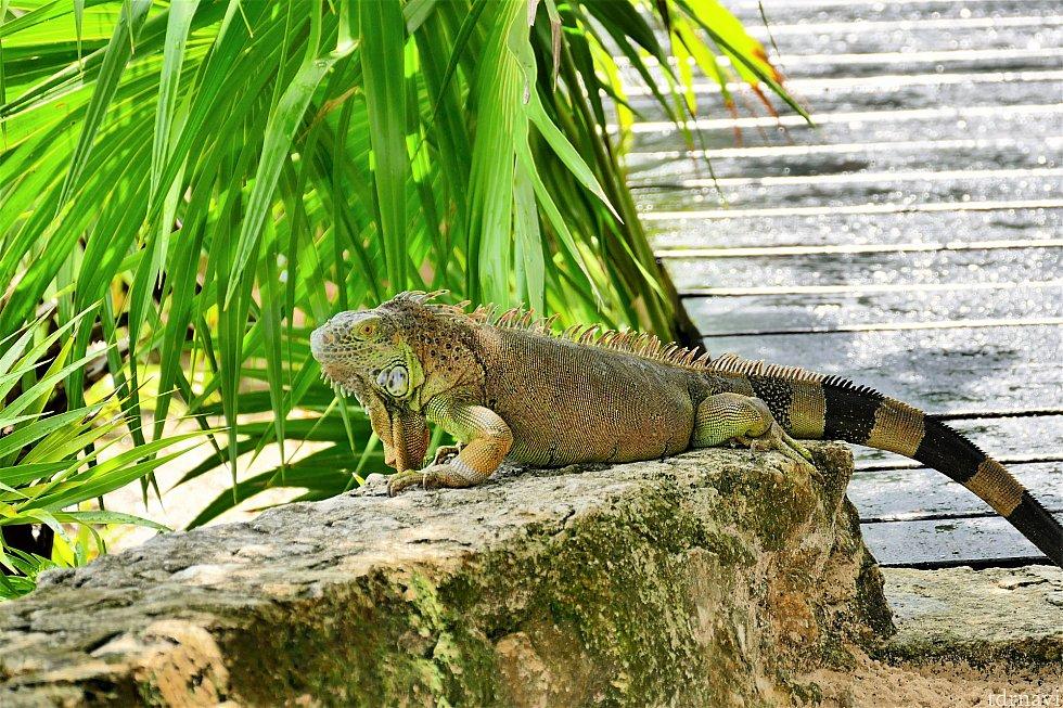 爬虫類が苦手な方…失礼しました_(._.)_私もあまり得意ではないのですが、さすが国立公園…。小さいヤモリはそれなりにいますし、全長60センチ級のイグアナもまれにいます(*_*)