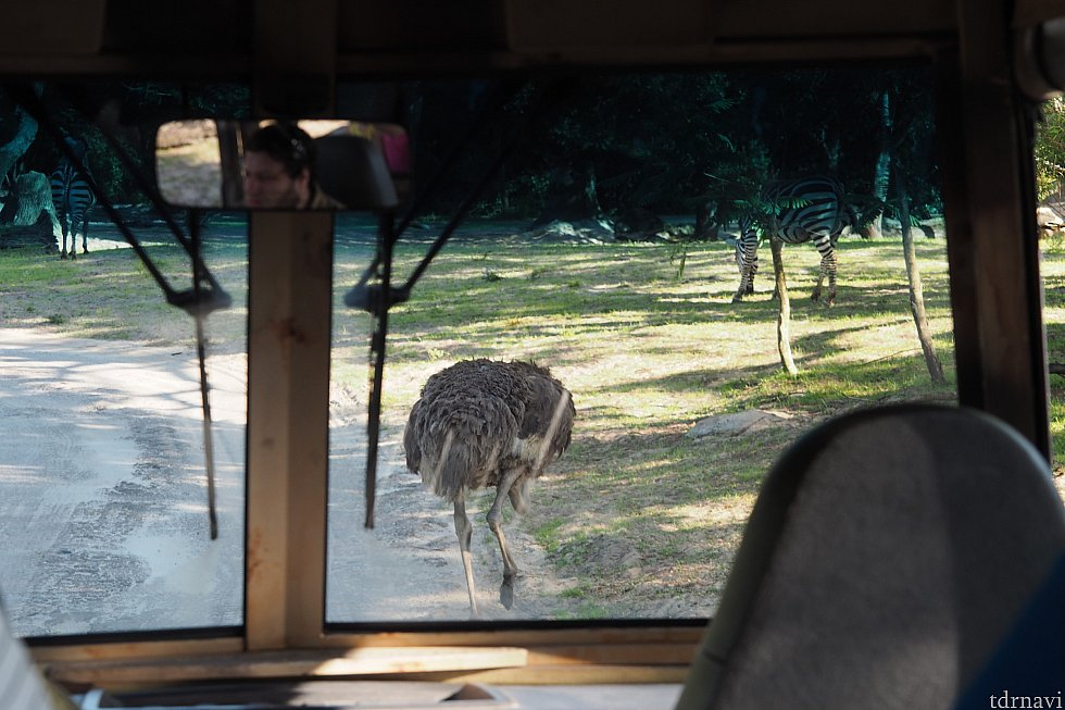 2回目…ダチョウの進路妨害!何だかんだ1分くらい止まっていました!これこそ生きている動物が自然の姿で暮らす、キリマンジャロサファリの醍醐味!!