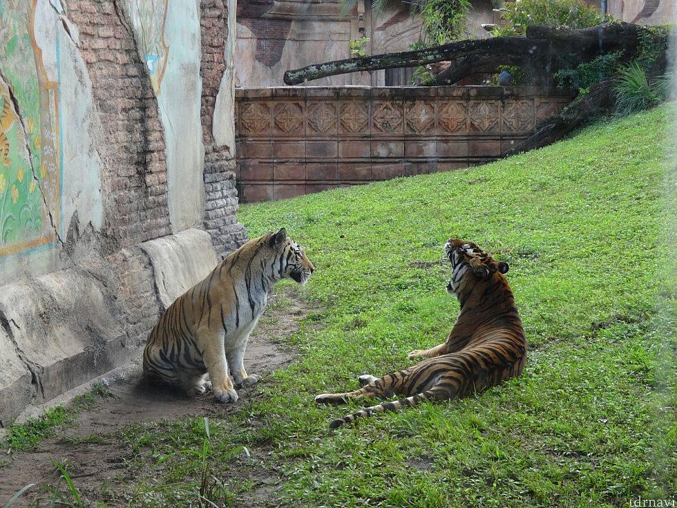 トラがじゃれてます