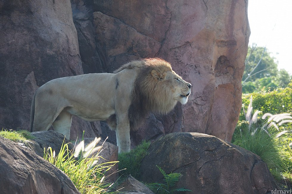 2回目…ライオン!吠えてるのか鳴いてるのかはわかりませんが、うなっていました笑。メスは爆睡していました。