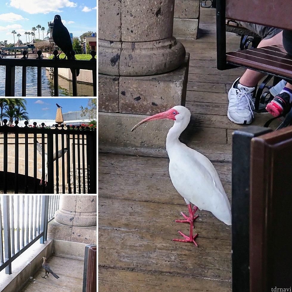 海外ディズニーあるある? 鳥さんがたくさんいます。落ちている物を食べているようですが、せっかくのお料理を横取りされぬよう御用心!