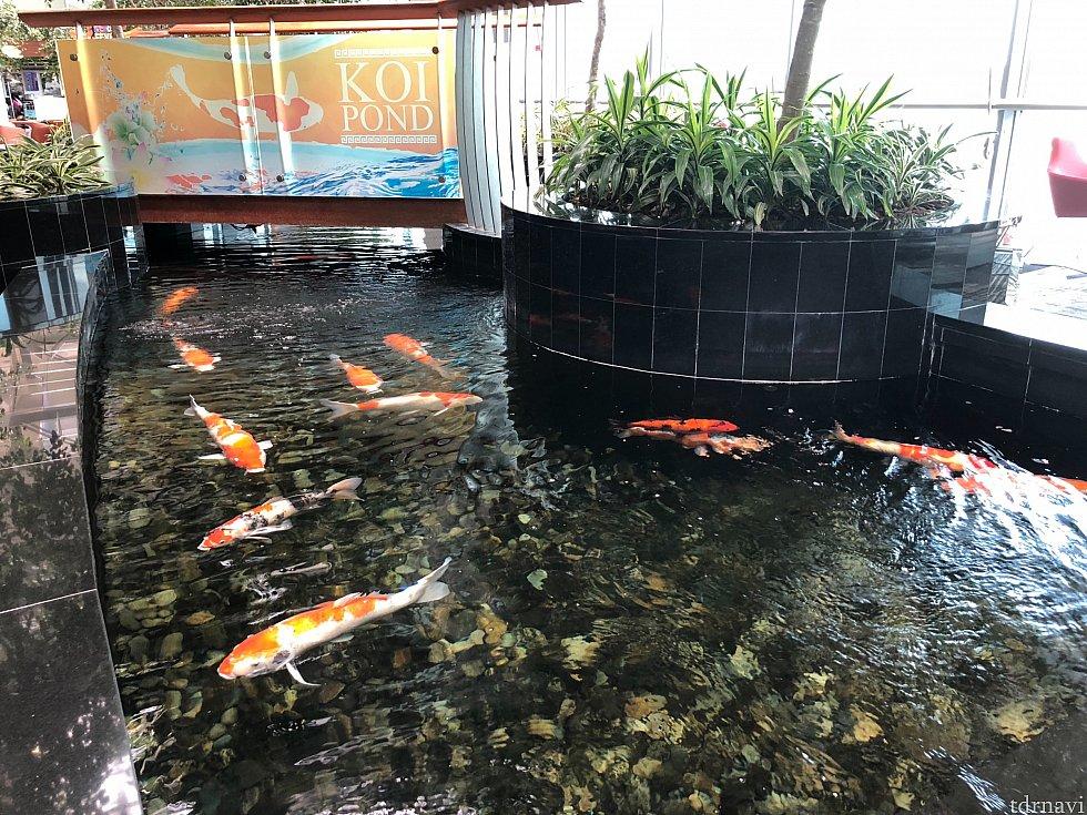 鯉も泳いでいました。