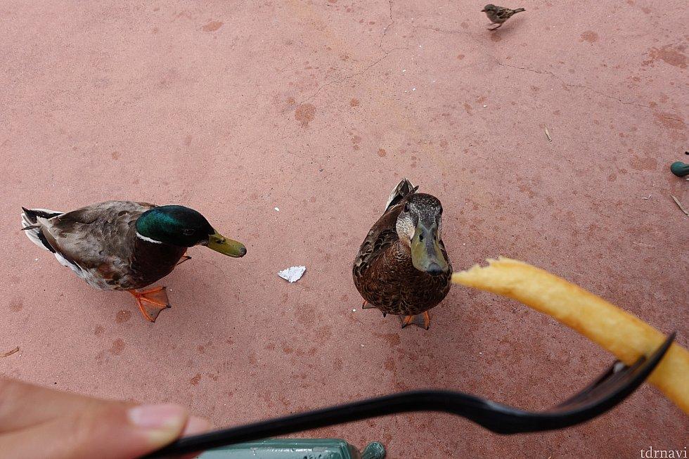 鴨くん達がポテトを凝視してくるのが可愛いです。