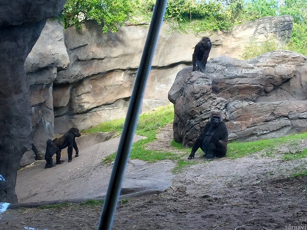 この日は2頭の大人と2頭の子供がいました。この日はゴリラもとっても行動的に動いていて、しばらく観察してしまいました。