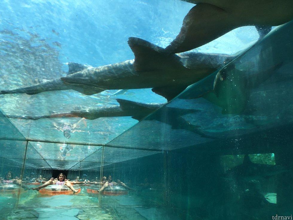 トンネルから見たサメの水槽