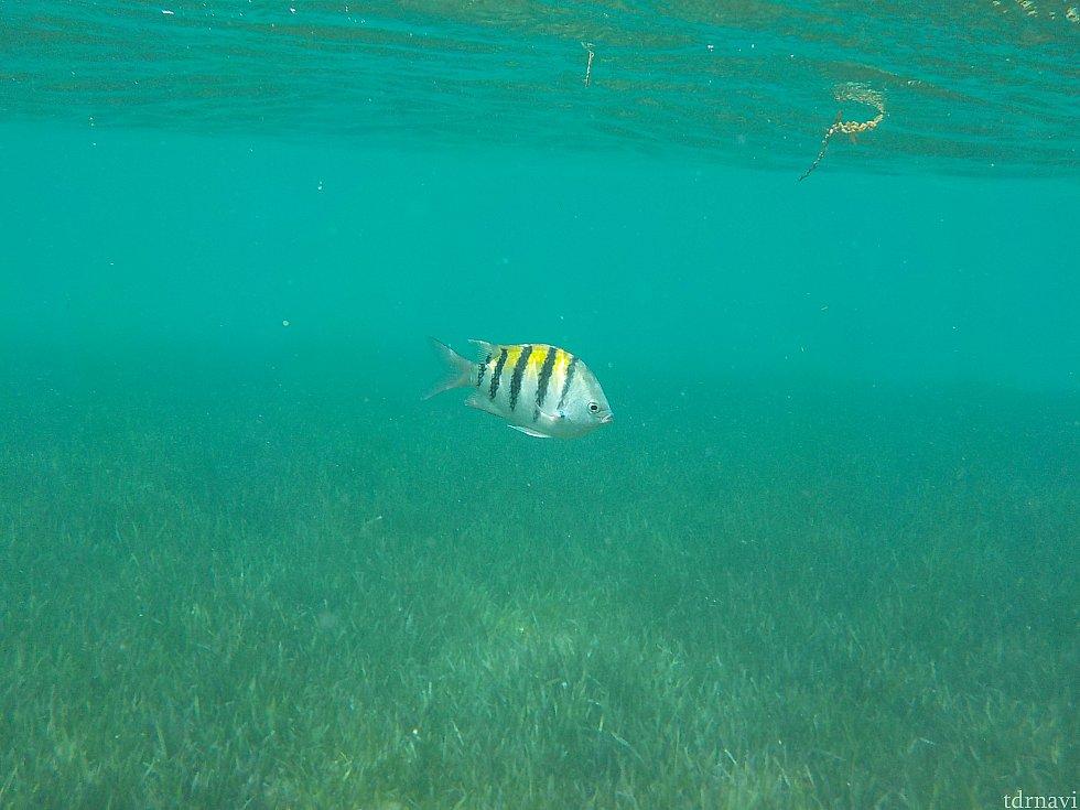 その後、シュノーケルに行きました。 少し泳いだら綺麗な魚がいます。