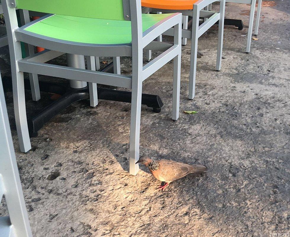 スズメ以外にもハト?も餌を求めてやってきました。