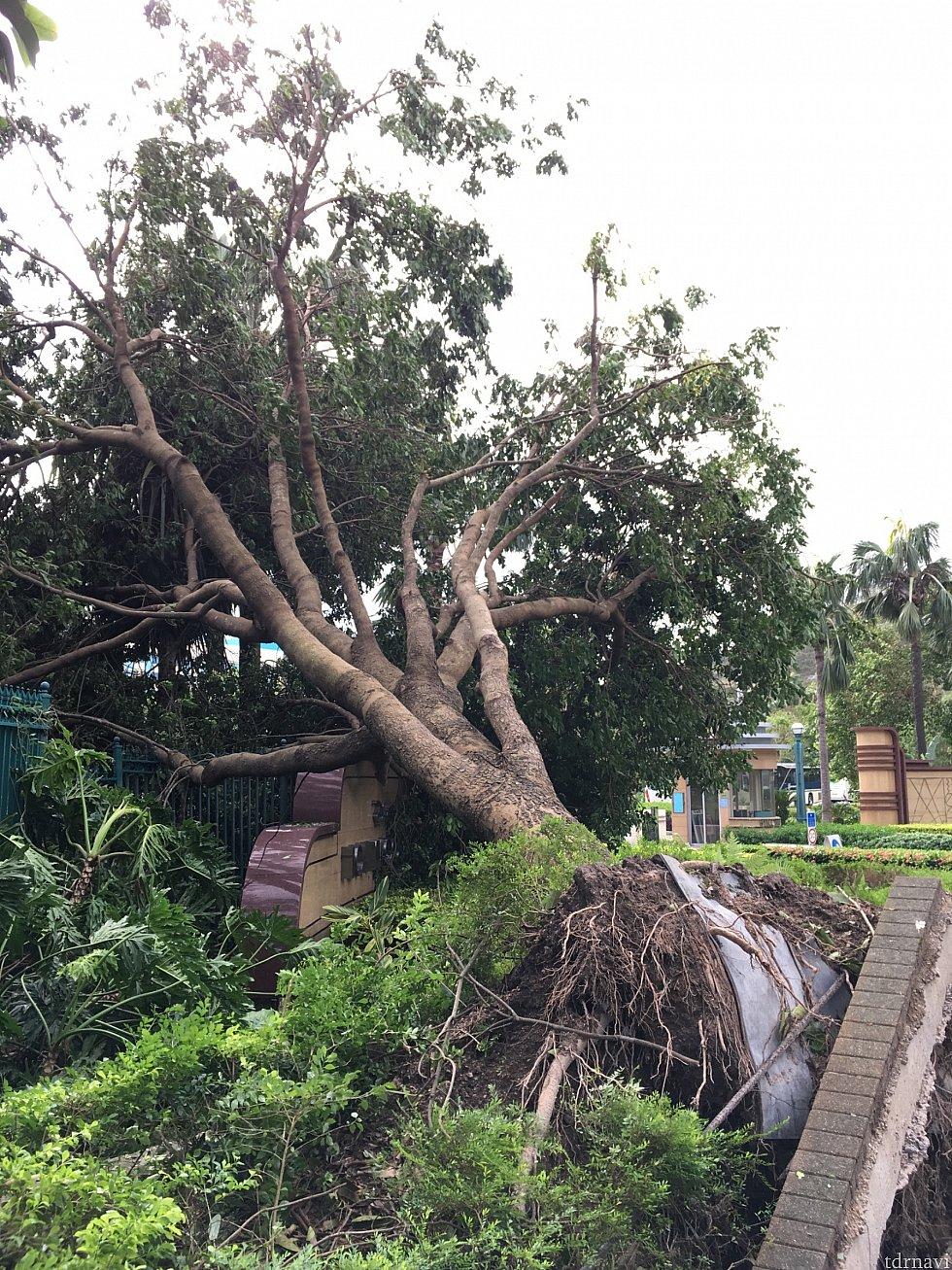 シグナル10の台風一過のディズニーリゾートは多くの木が倒壊して道を塞いでました
