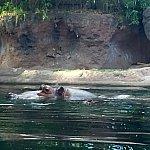カバも結構動きます。水上の頭と、