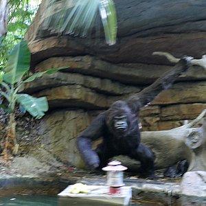 川を流れるバナナをとろうとしてるゴリラ(写真ブレッブレ)